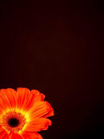 Orange gerbera daisy isolated on black background