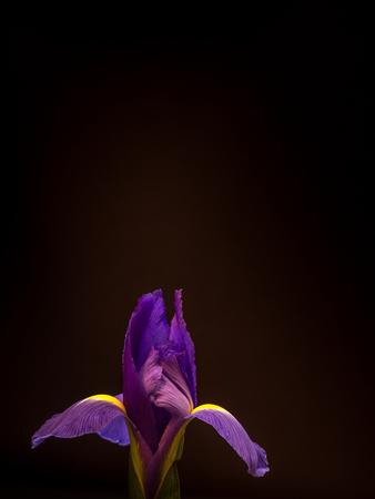 single isolated purple iris, detailed macro Stock Photo
