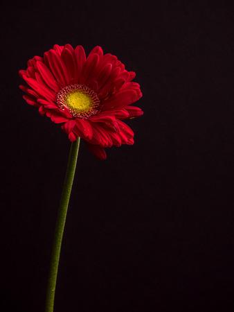 colorful daisy close up with copy space, portrait orientation