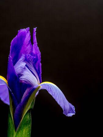 Single purple iris on black, portrait orientation Stock Photo