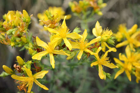 Branch with tiny yellow star flowers on a greyish green background