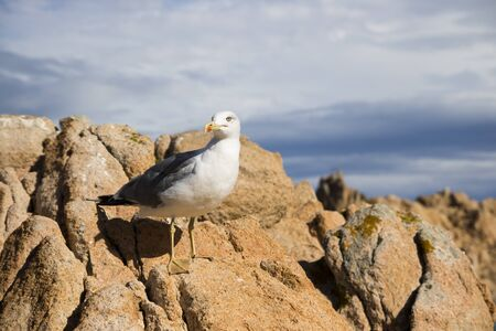 greyish: Seagull sitting on rocks in the sun