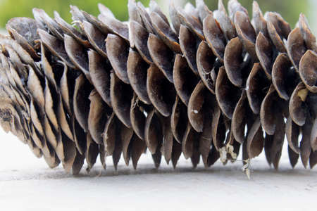 needle tip: This is a closeup photograph of a Pine cone