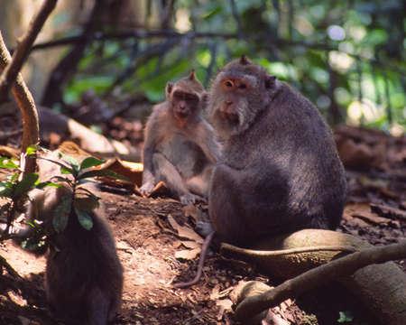 バリ島の猿