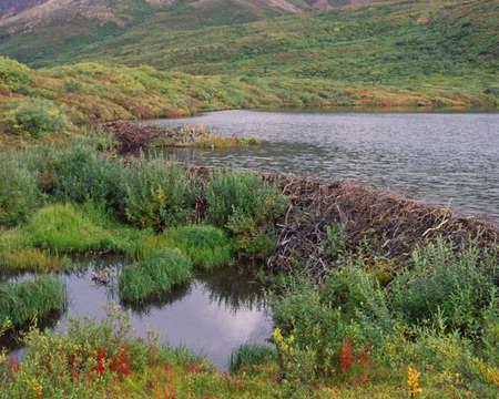 denali: beaver dam in Denali Alaska