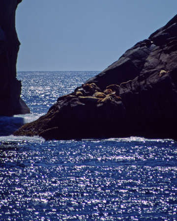 alaskian: seals on alaska coast