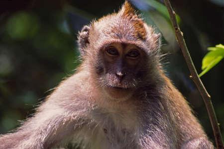 バリ島猿 写真素材