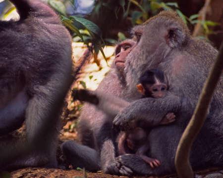 バリ島の猿の毛づくろい