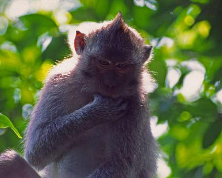 발리 원숭이 빠는 스톡 콘텐츠
