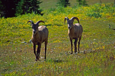 ungulates: Big horn sheep in Canada Stock Photo