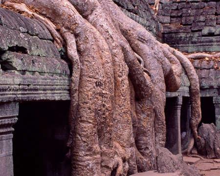 Dikke boom routes tempel Angkor Wat