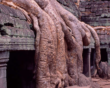 Thick tree routes on Angkor wat temple 版權商用圖片
