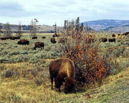 grazer: Bison by a bush