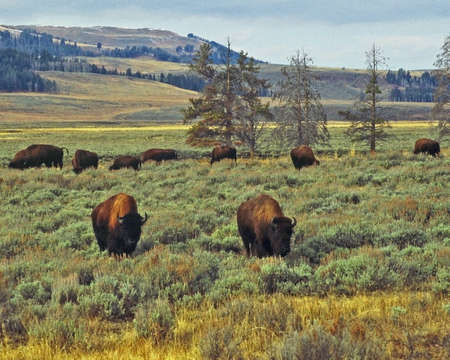 ungulates: herd of bison Stock Photo