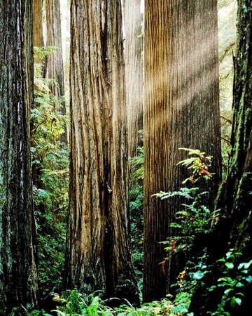 light beams in redwoods