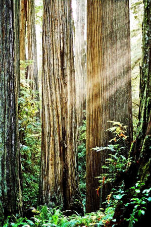 sunbeams in tall trees