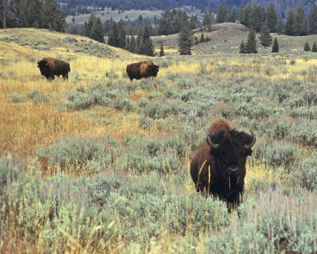 ungulates: bison in yellowstone