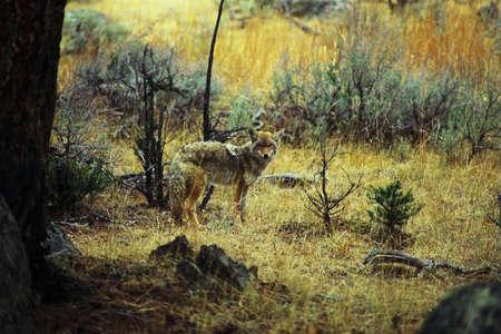 coyote in wilderness Reklamní fotografie - 1914530