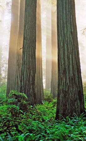 sun beams in tall trees