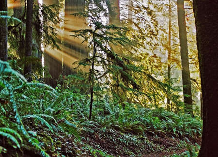 sunbeams in the forest