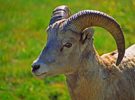 bighorn sheep: Canada bighorn pecore