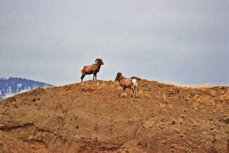 ungulates: two Yellowstone bighorns  Stock Photo