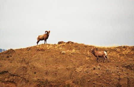 bighorns on cliff Фото со стока