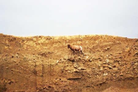 bighorn sheep on yellowstone cliff