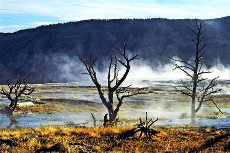 arboles secos: �rboles muertos en Yellowstone  Foto de archivo
