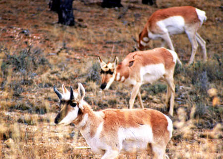 the scars: three pronghorn with scars