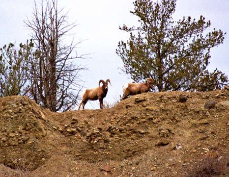 bighorn sheep: bighorn sheep on edge of cliff