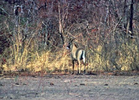 niger: roan antelope in niger