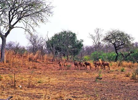 niger: Niger antelopes