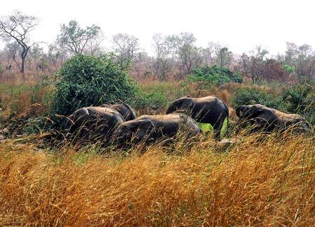 niger: niger elephant herd