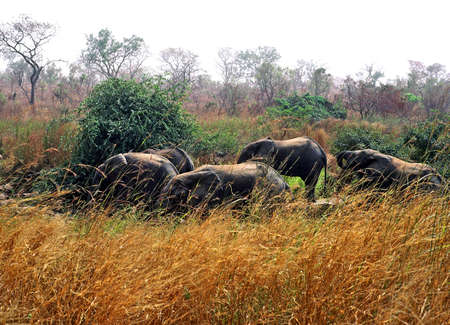 niger olifant beslag Stockfoto