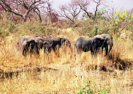 niger: niger elephants in dry season