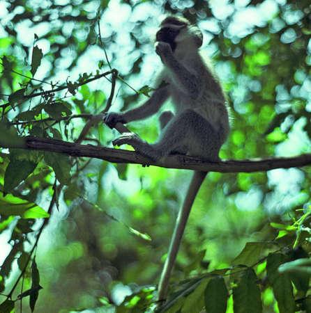 niger: niger vervet monkey eating