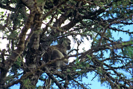 green monkey in Congo thorntree