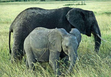 Kenya olifanten