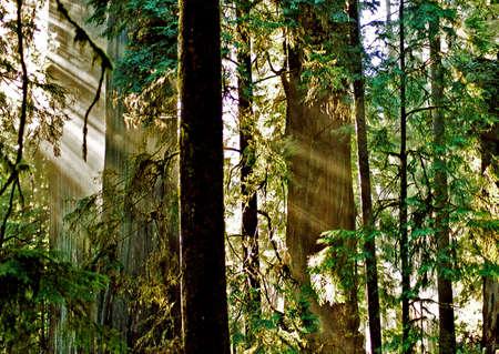 redwood sunbeams