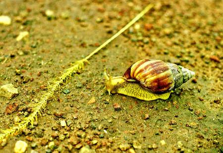 niger: land snail in niger Stock Photo