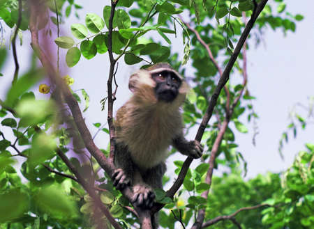 niger: green monkey in niger