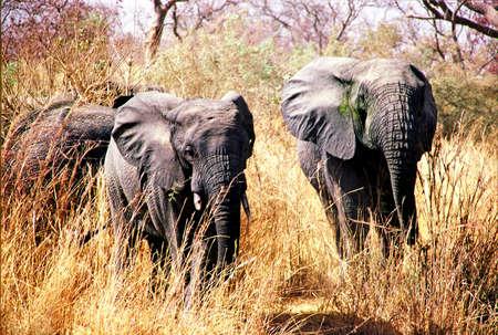 niger: elephants in niger