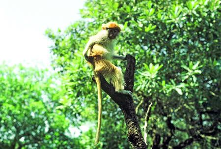 niger: patas monkey niger