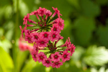 Two pink candelabra primulas. Romantic couple wearing similar wreaths.