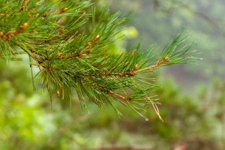 Pine tree needles closeup. Banco de Imagens