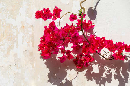 Bougainvillea spectabilis, also known as great bougainvillea, is a species of flowering plant. It is native to Brazil, Bolivia, Peru, and Argentina's Chubut Province Stock Photo
