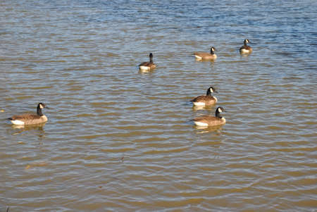 flocks  of  ducks  on  pond Stock Photo