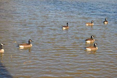 flock  of  wild  ducks  on  pond Stock Photo - 17597116