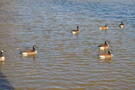 flock  of  wild  ducks  on  pond